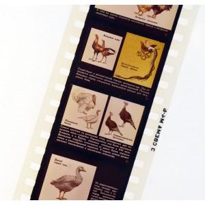 Породы домашних птиц